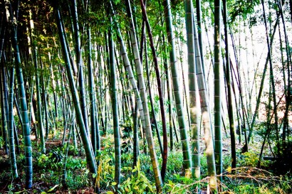 Japan 2001-Bambou Forest-63